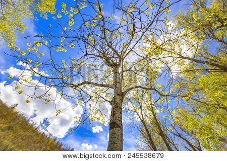 The Utah State Tree: Quaking Aspen On A Hike In Big Springs Park, Provo