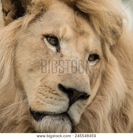 Stunning Intimate Portrait Of White Barbary Atlas Lion Panthera Leo