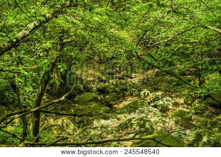 Trees Growing Along Side Large Boulders Covered With Green Moss In Heavily Shaded Dry Riverbed .