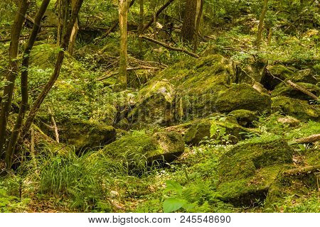 Large Moss Covered Boulders In Dry Riverbed In Heavily Shaded Area Of Mountain Forest.