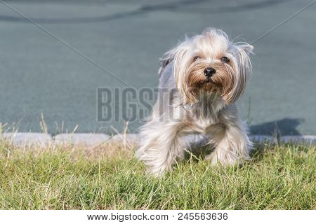 hire Terrier posing an grass. Yorkie Dog. poster