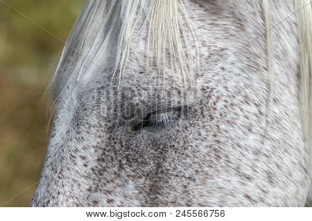Head Of Gray Ranch Horse Closeup, Eyelashes And Mane
