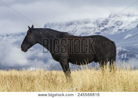 Black Ranch Horse Standing In Grassy Pasture With Snow, Wyoming Mountains