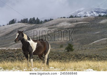 Pinto Ranch Horse Standing In Grassy Pasture With Snow, Wyoming Mountains