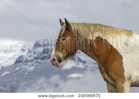 Pinto Ranch Horse, Wyoming Mountains With Snow