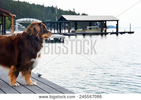 Husky - Border Collie mixed breed dog standing on a dog overlooking Flathead Lake in Montana
