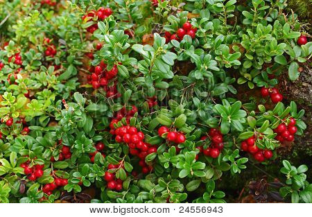 Cowberry On Green Nature Background.