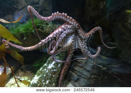 Octopus (octopus Vulgaris), A Soft-bodied, Eight-armed Mollusc Grouped Within The Class Cephalopoda