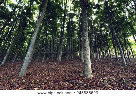 Rows Of High Trees In A Plantation Growing A Carpet Of Brown Leaves