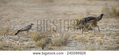 Black Backed Jackal Walking In The Kalahari Looking For Food At A Goshawk