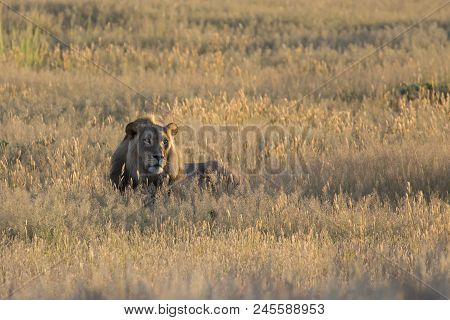 Lone Lion Male Lay Down To Rest In The Kalahari Grass