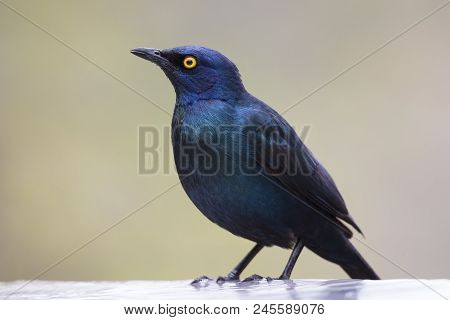 Cape Glossy Starling Sitting In A Shallow Water Pool To Drink Water On A Hot Day