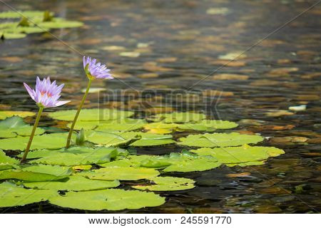 Floating 2 Pink Lotus Flower In The Pond With The Rocks On The Ground