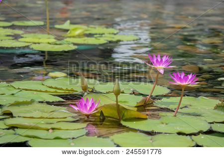 Floating 3 Pinks Lotus Flower In The Pond With The Rocks On The Ground