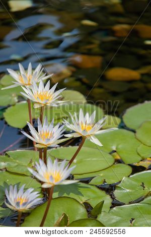 Floating 5 Whites Lotus Flower In The Pond With The Rocks On The Ground