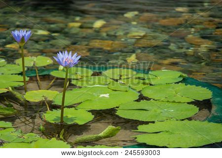 Floating Purple Lotus Flower In The Pond With The Rocks On The Ground