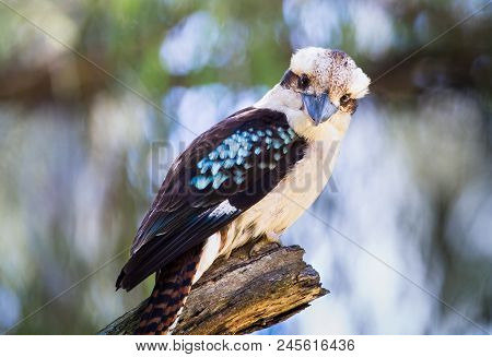 An Adult Laughing Kookaburra (dacelo Novaeguineae) Perched On A Tree In The Cathedral Range State Pa