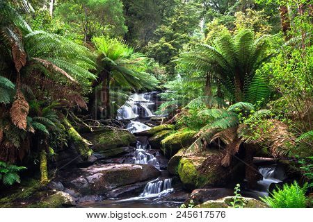 A Small Creek Flows Through A Lush Temperate Rainforest Lined With Tree Ferns In The Great Otway Nat