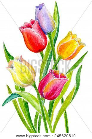 Bouquet Of Multicolored Tulips Isolated On White Background. Hand-painted Watercolor Illustration An