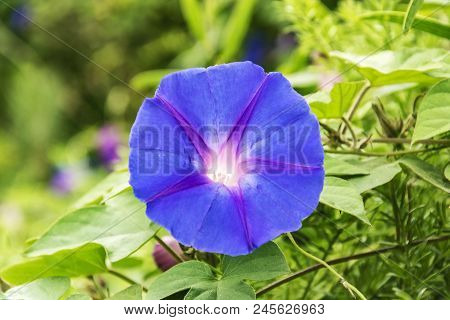 Flora.  Purple Flower Morning Glory, Close-up On Blurred Background