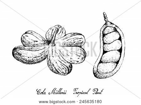 Tropical Fruit, Illustration Of Hand Drawn Sketch Cola Millenii Fruits Hanging On Tree Bunch Isolate