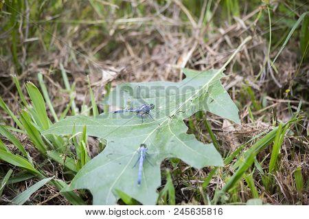 Blue Dasher Dragonflies Resting On A Fallen Leaf