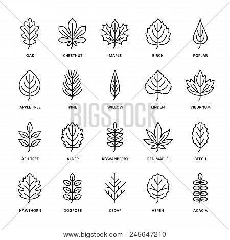 Autumn Leaves Flat Line Icons. Leaf Types, Rowan, Birch Tree, Maple, Chestnut, Oak, Cedar Pine, Lind