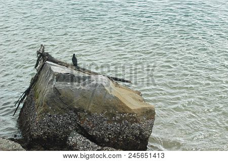 A Coromorant Sitting On A Piece Of Driftwood Resting On A Rock. The Ocean Surrounds The Rock. The Ro