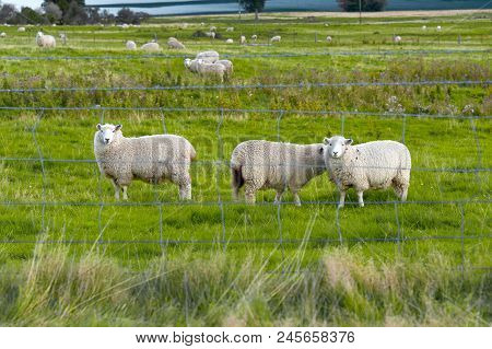 Curious Sheep. Flock Of Sheep In A Farm By A Lake In Queenstown, New Zealand.