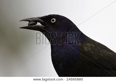 Common Grackle with sunflower seed against grey background poster