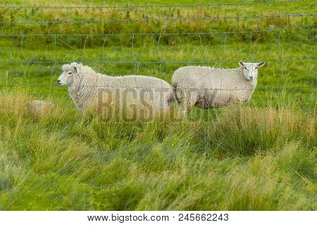 Curious Sheep. Flock Of Sheep In A Farmland In Queenstown, New Zealand.