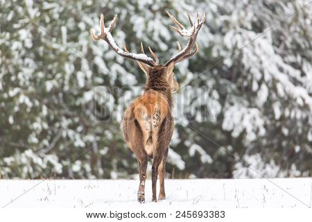 Winter Wildlife Landscape. Noble Deer Cervus Elaphus. Back Of Deer In Winter Forest. Deer With Large