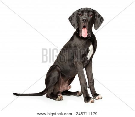 Great Dane Posing On White Background