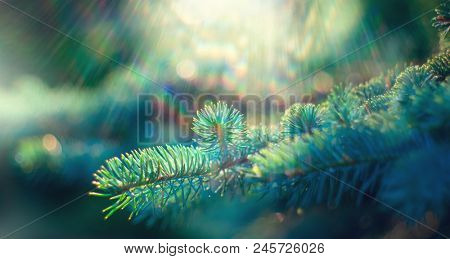 Blue Spruce growing in summer garden. Spruce outdoors, conifer needles close-up, nature. Sun flares.