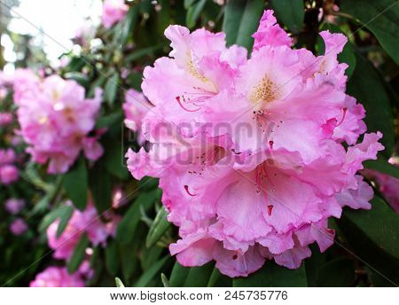 Closeup Blooming Rhododendron In The Spring Garden. Season Of Flowering Rhododendrons, Spring Backgr