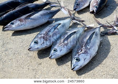 Albacore tuna fish Thunnus Alalunga catch  in fishing tourney