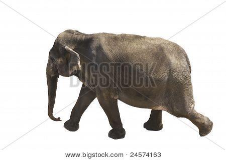 Elephant marching