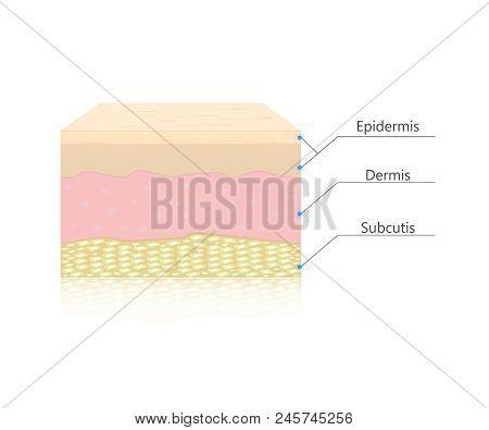 Skin Layers Vector. Dermis, Epidermis And Subcutis.human Anatomy
