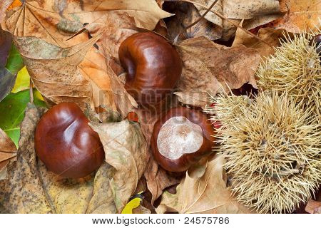 Conkers on Autumn Leaves