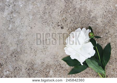 Feminine Styled Stock Photo. Moody Floral Composition. White Peony Flower On Grunge Concrete Backgro