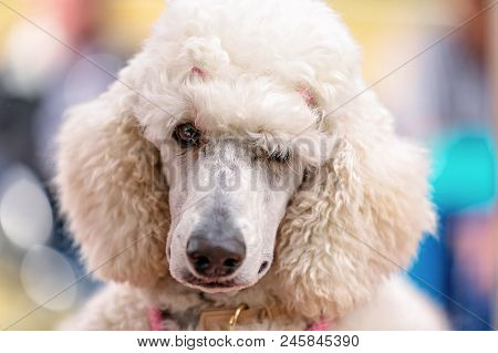 A Standard White Poodle Competing At A Country Dog Show