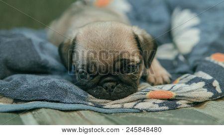 Cute Little Pitiful Sad Pug Puppy Dog Lying Down On Wooden Floor