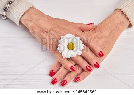 Female Manicured Hands And Chrysanthemum. Old Woman Hands With Red Manicure And White Little Chrysan