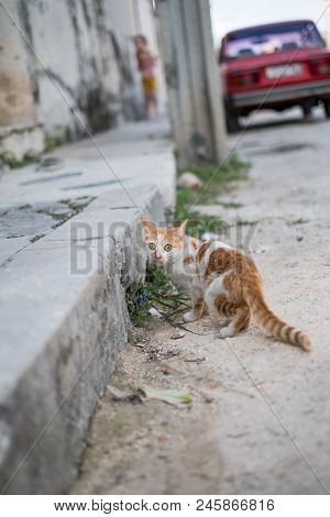 Small Ginger And White Cat Facing The Camera On The Streets Of Havana, Cuba
