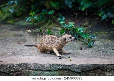 Curios single meerkat suricate sitting on the stone in Zoo poster