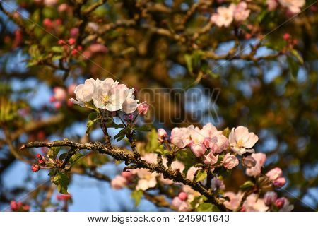 Branch With Beautiful Pink And White Apple Tree Blossom