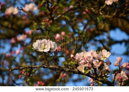 Closeup Of Beautiful Apple Tree Flowers In A Tree
