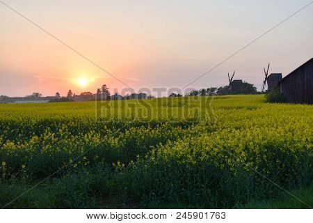 Colorful Sunset By A Blossom Rapeseed Field At The Swedish Island Oland