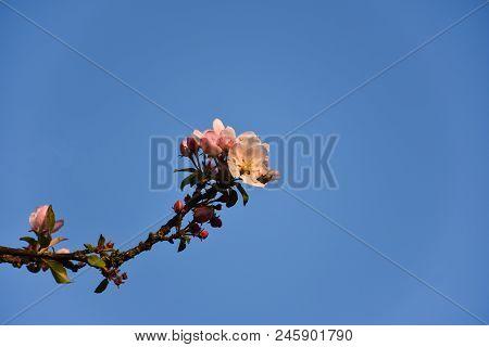 Apple Tree Flower On A Twig By A Blue Sky
