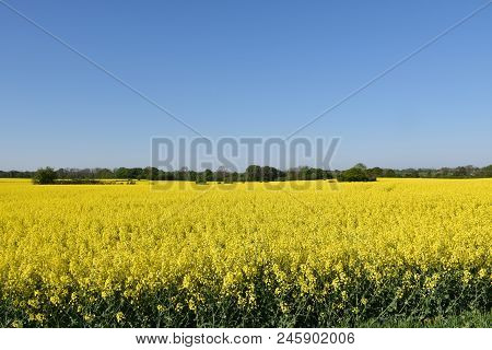 Beautiful Blossom Rapeseed Field By A Blue Sky At The Swedish Island Oland